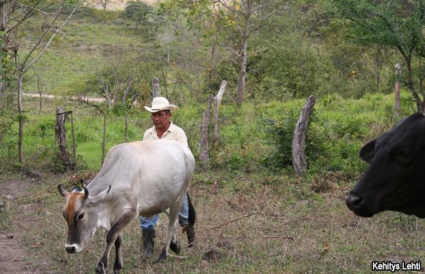 20120131-ganadero-nicaragua